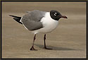 Laughing Gull 1913